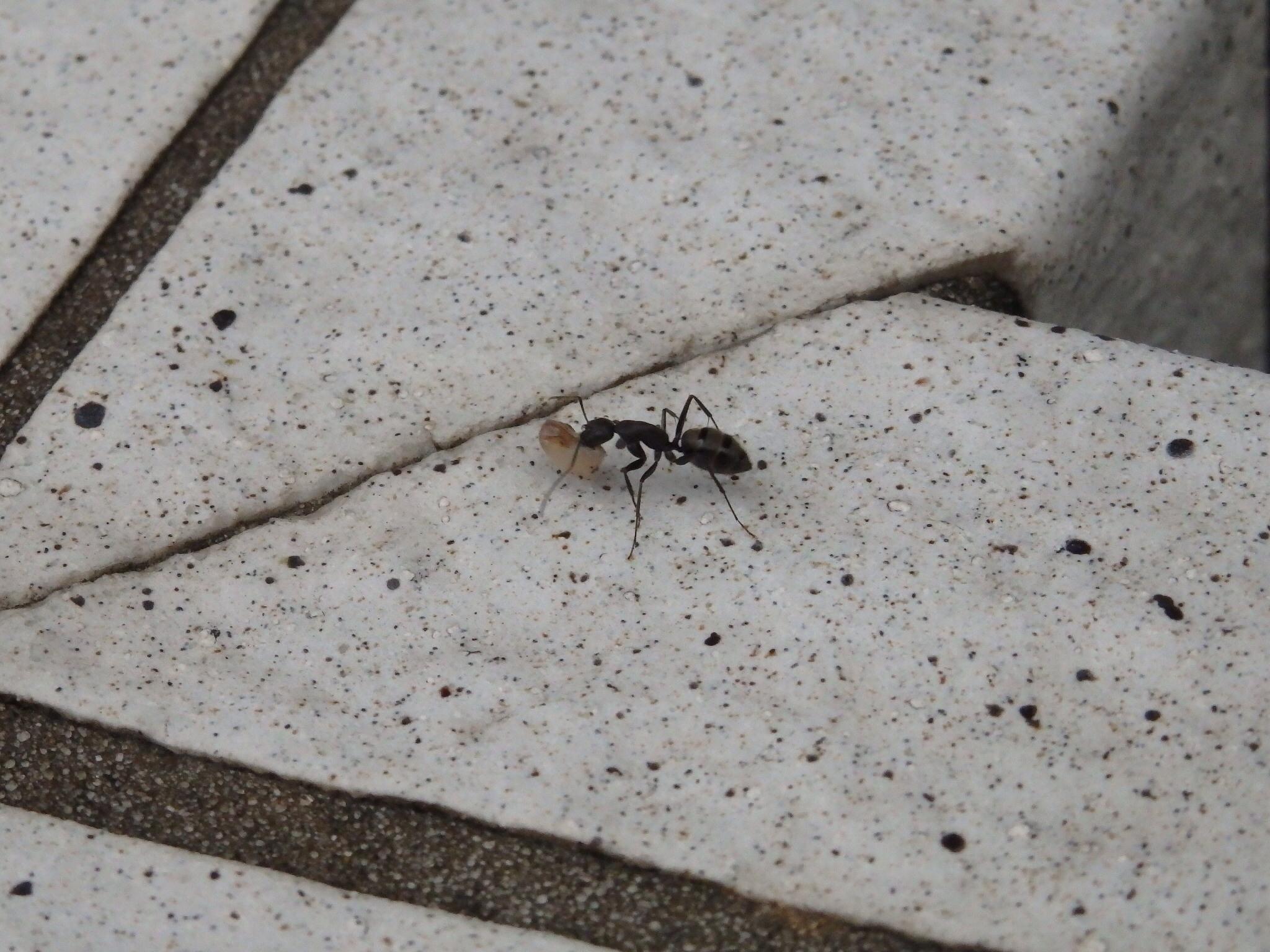 せっせと餌を運ぶこの蟻も、おばあちゃん@摂理の味