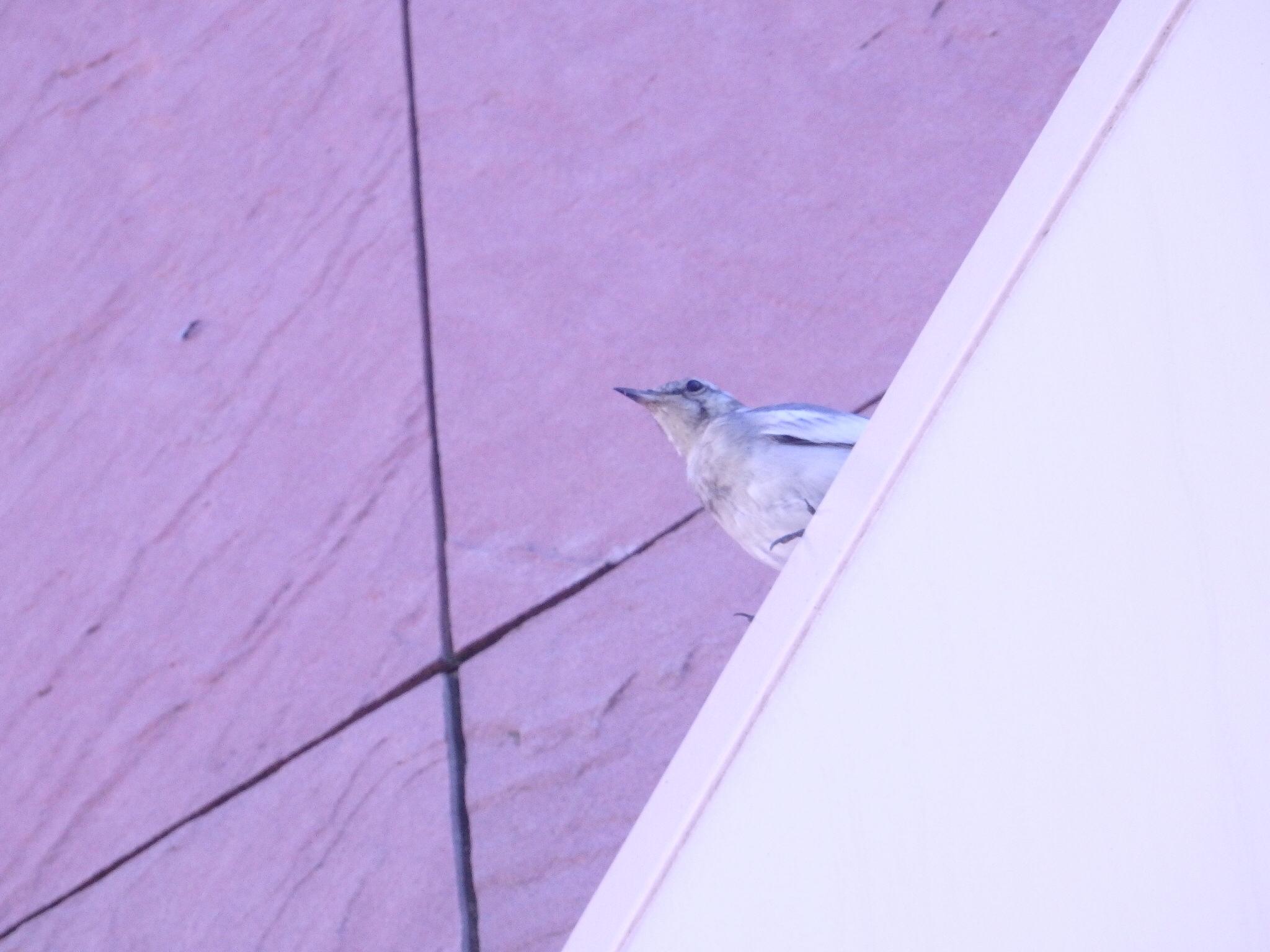 スーパーの入口で鳴くかわいい小鳥@摂理の味